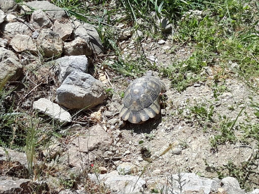 Broască țestoasă de pe Acropole